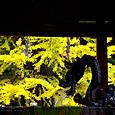 銀杏と手水舎の龍