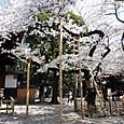 東京の桜開花標準木