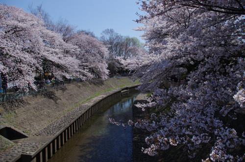 善福寺川緑地公園の桜