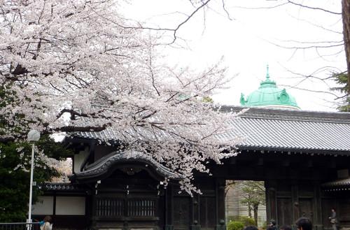 国立博物館と桜