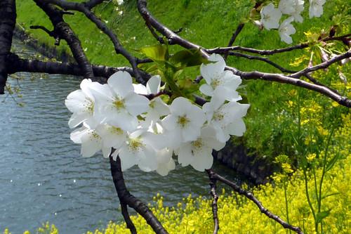 桜のアップと菜の花