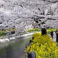 山科 琵琶湖疏水沿いの桜と菜の花