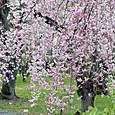 二条城の枝垂れ桜
