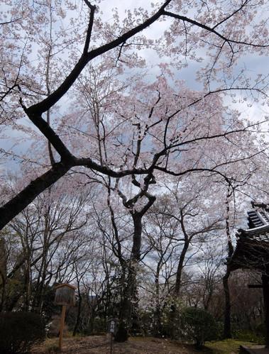 勝持寺の西行桜