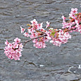 河津川の桜