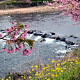 菜の花と桜と河津川