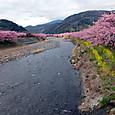 河津川と河津桜