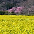 南伊豆 菜の花と河津桜